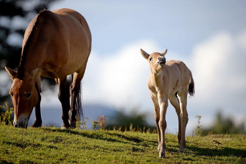 фото лошадь пржевальского