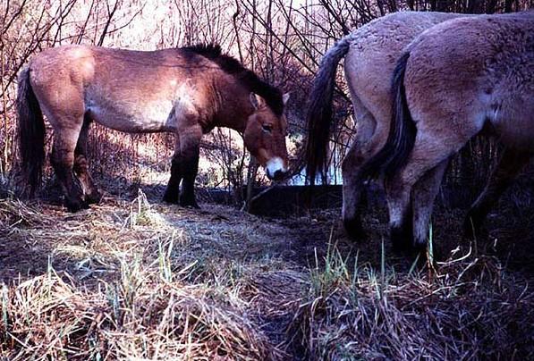 фото лошадь Пржевальского в зоне отчуждения